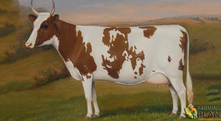 Ayrshire Cattle