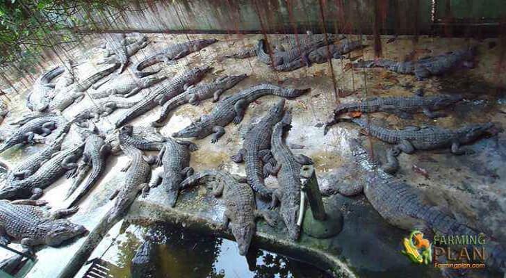 Crocodile farming in philippines
