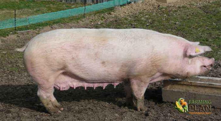 Dutch Landrace Pig