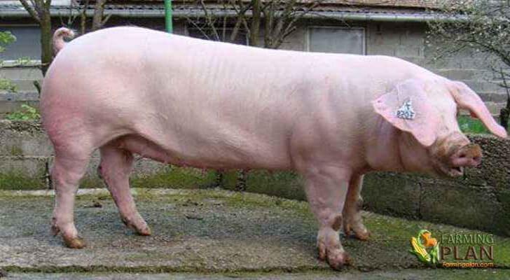 French Landrace Pig