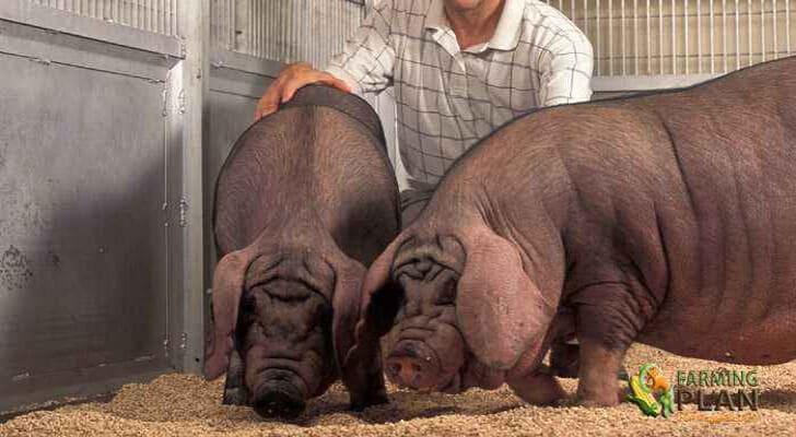Minzhu Pig