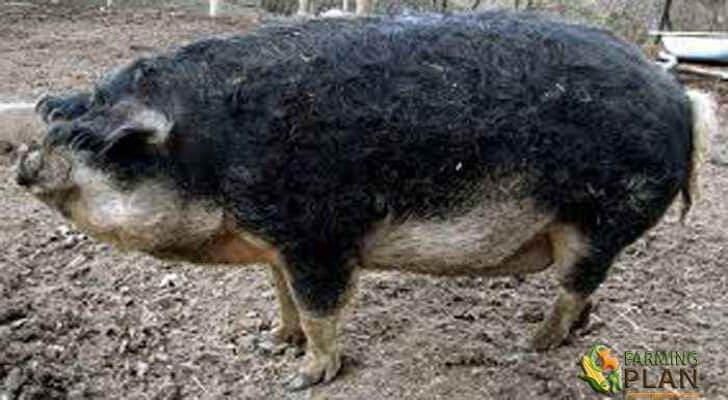 Swallow-bellied Mangalitsa Pig