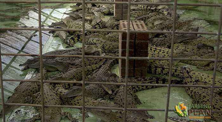 Crocodile Farming Industry