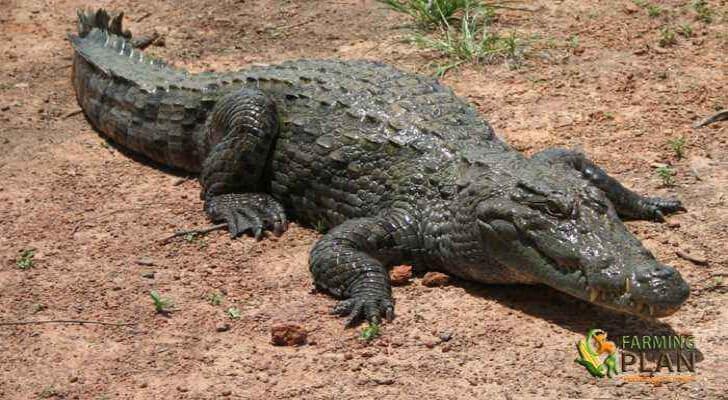 Crocodile Farming in Africa