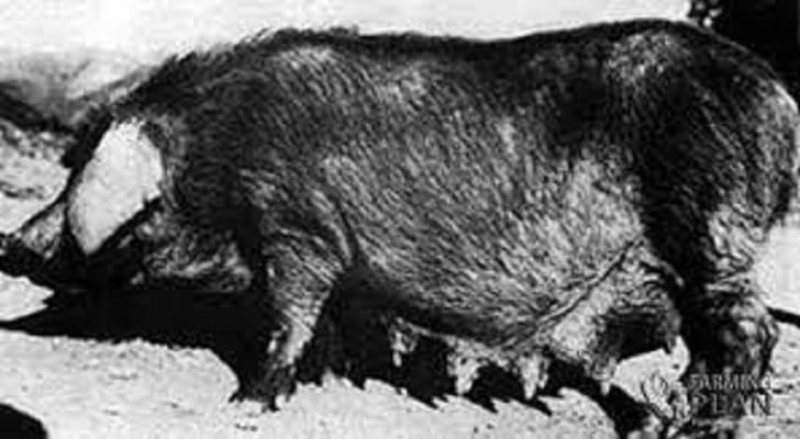kele Pig