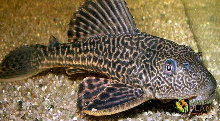 Plecostomus Fish