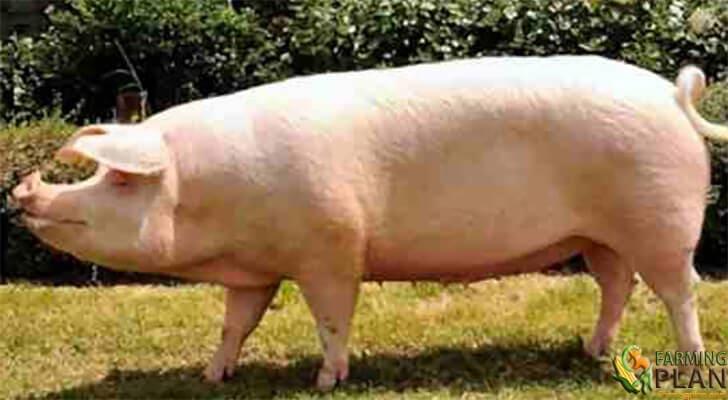 swedish Landrace Pig